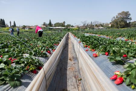 Strawberry picking at Hod ha Sharon, Israel