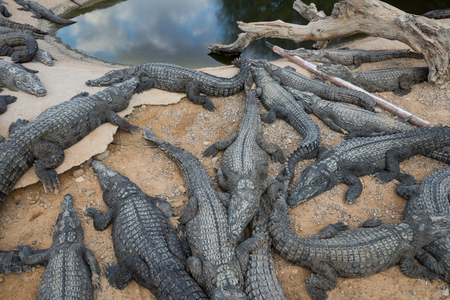 At Crocoloco Crocodile Farm, Israel Stock fotó