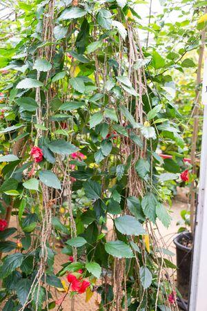 Visiting Hibiscus farm in Israel