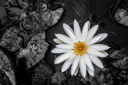 Water lily, in the pond surrounded, by the leaves with targeted Black and White filter applied. photo