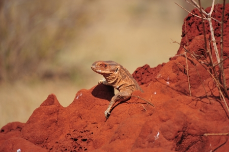 lizard takes sunbath in the savannah of africa