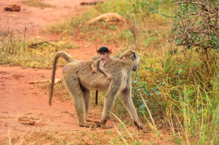 baboon family in the desert of kenya photo