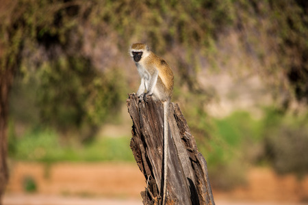 orte: an attentive monkey on a branch Stock Photo