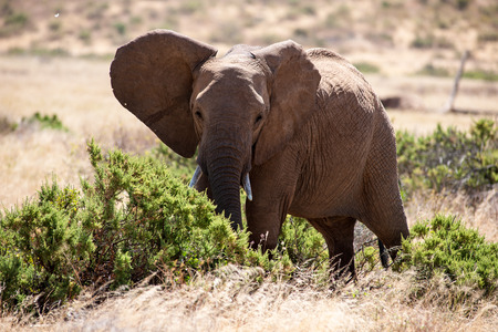 orte: elephant in the savannah of kenya
