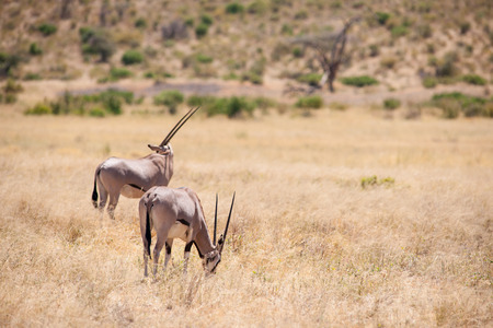 orte: oryx antelope in the savannah of kenya Stock Photo