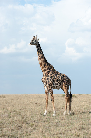 afrika: giraffe in the national park masai mara