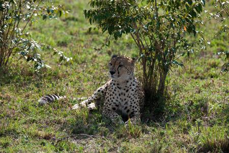 gepard: cheetah the sprinter in the savannah