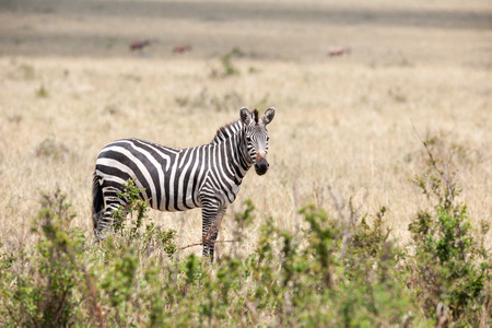 orte: zebra in the wide of africa