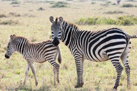 hienas: hienas en thr sabana de Kenia