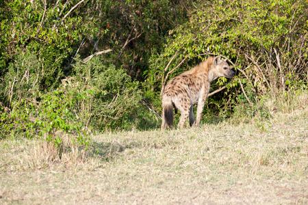 iene: iene nella savana del Kenya