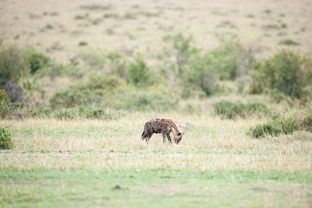 iene: iene in thr savana del Kenya