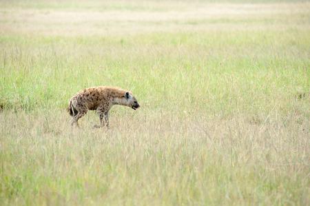 hienas: hienas en la sabana de Kenia