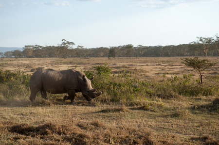 nakuru: rhino in the national park lake nakuru
