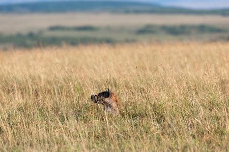 savanna: hyenas in the savanna of africa Stock Photo