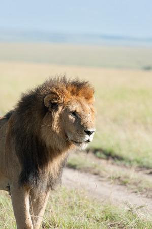 savanna: lion in the savanna of Kenya