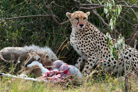 masai mara: Cheetah with young in the Masai Mara