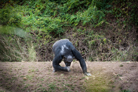 chimpances: Los chimpanc�s en la �ltima Libertad Foto de archivo