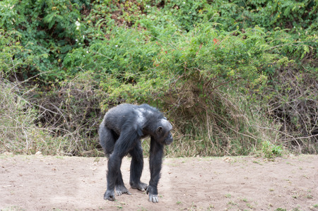 chimpances: Los chimpancés en la Última Libertad Foto de archivo