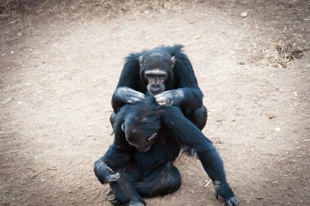 chimpances: Los chimpanc�s en la �ltima libertad? Foto de archivo