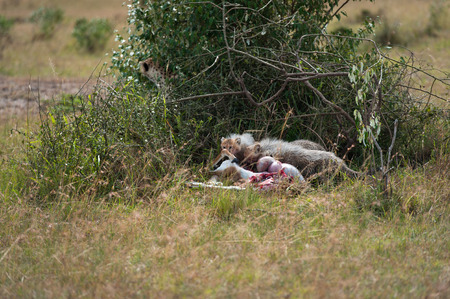 the mara: Cheetah with young in the Masai Mara