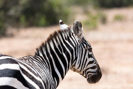 ungulate: Zebra in the Savanna of Kenya