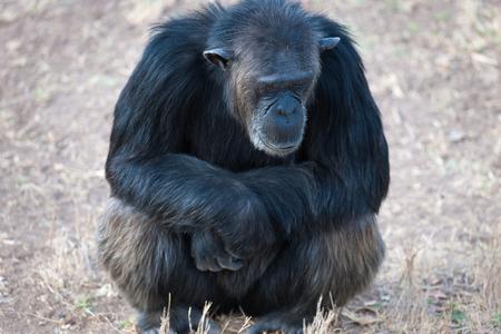 chimpances: Chimpancé