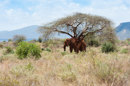 tsavo: the red elephants of Tsavo East National Park Kenya. Stock Photo
