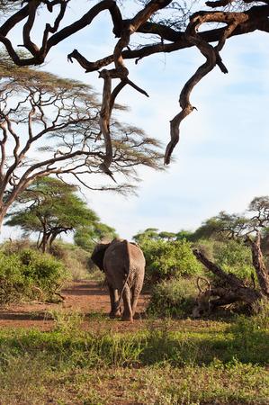 the mara: elephant in the Masai Mara Stock Photo