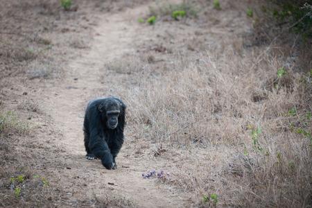 chimpances: Los chimpanc�s en la carga-libertad? Foto de archivo