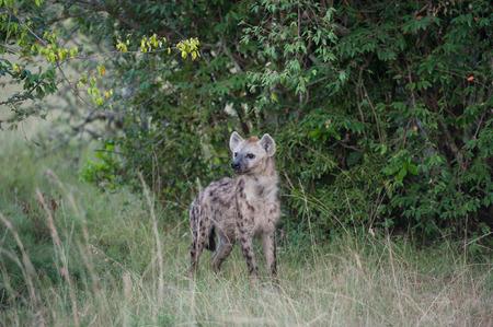 hienas: hienas en la sabana de �frica Foto de archivo