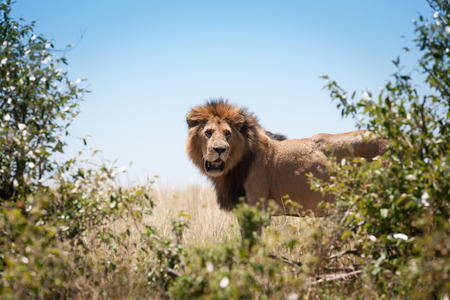 savanna: Lion in the savanna of Africa