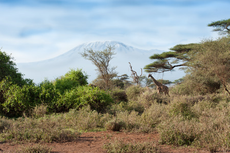 kilimanjaro: kilimanjaro with acacia and giraffe