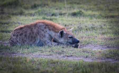 hienas: hienas en la sabana de África Foto de archivo