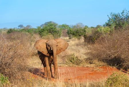 savanna: elephant in the savanna of Africa Stock Photo