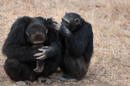 chimpanzees: Gli scimpanz� in The Last Freedom