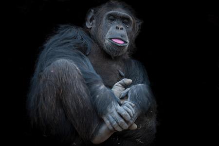 chimpances: Los chimpancés en los últimos Libertad