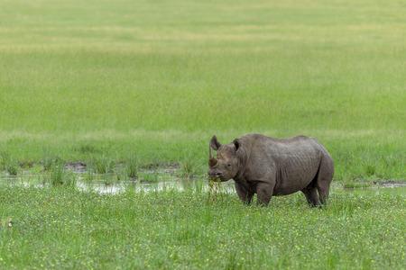 wildanimal: Rhino in the Masai Mara kenya africa