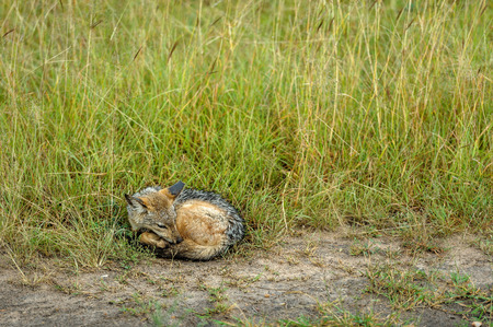 masai mara: Jackal sleep in the Masai Mara