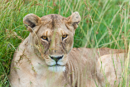 wildanimal: Lion in the savannah of Africa Masai Mara