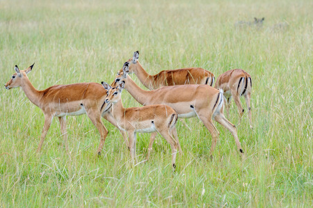 masai mara: impala herd in the Masai Mara kenya