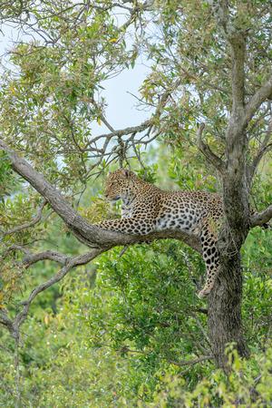 masai mara: Leopard in the Masai Mara Africa Stock Photo