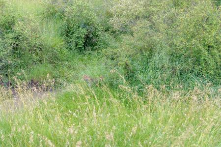 wildanimal: Leopard in the Masai Mara Africa Stock Photo