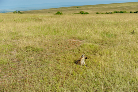 wildanimal: Hyena to run in the savannah of africa