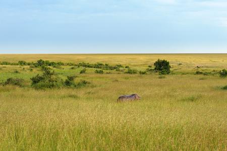 wildanimal: Hippo in the Savannah of Africa Stock Photo