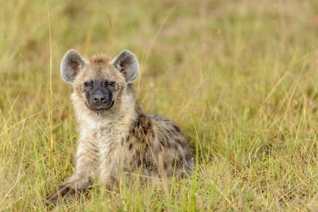 hyena: Hyena to run in the savannah of africa