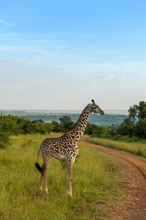 the mara: giraffe in the Masai Mara africa