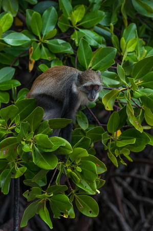 mangroves: monkey in the mangroves Kenya