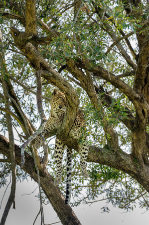 the mara: leopard in the Masai Mara kenya