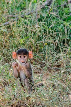 the mara: Baboons baby in the Masai Mara