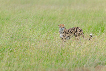 masai mara: cheetah in the Masai Mara to foray